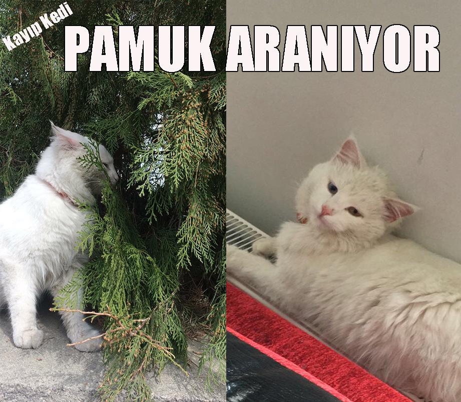 Ürgüp'te Kayıp Kedi Pamuk Aranıyor