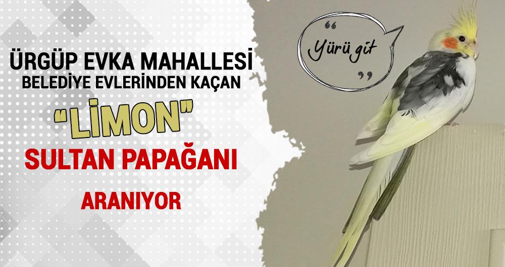Evka'dan kaçan Sultan Papağanı Limon aranıyor