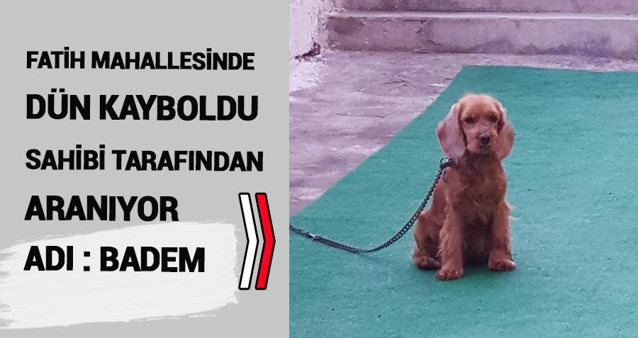 Fatih Mahallesinde kaybolan cooker cinsi köpek aranıyor